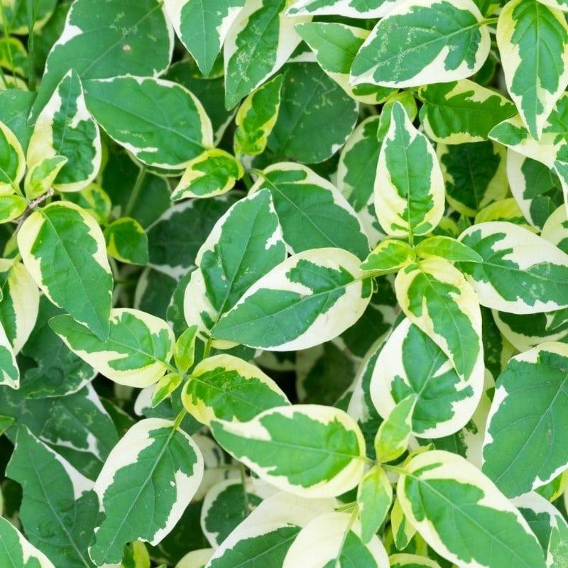 צמחים מטפסים לבית - פוטוס