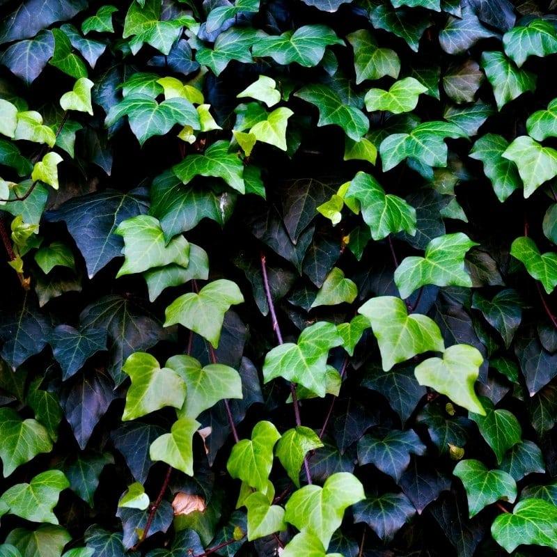 צמחים מטפסים לבית - קיסוס החורש