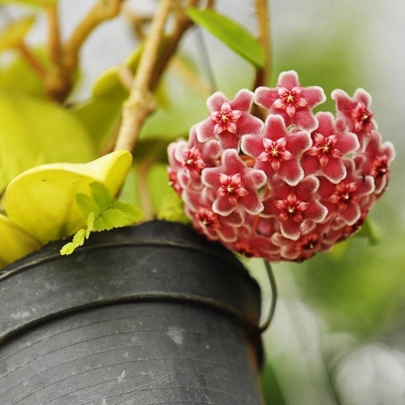 צמחים מטפס לבית - בת-שבע מטפסת