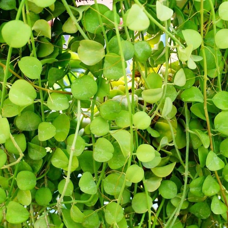 צמחים מטפס לבית - דיסכידיה נוממולריה