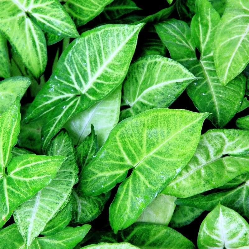 צמחים מטפס לבית - סינגוניום פטורטי