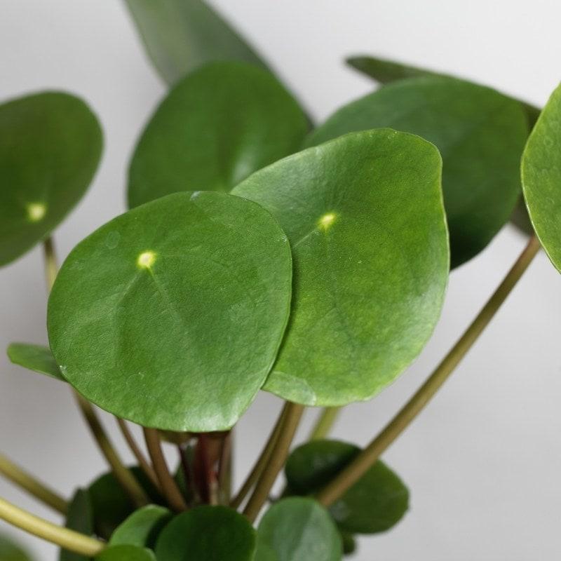 צמחים מטפס לבית - פילאה