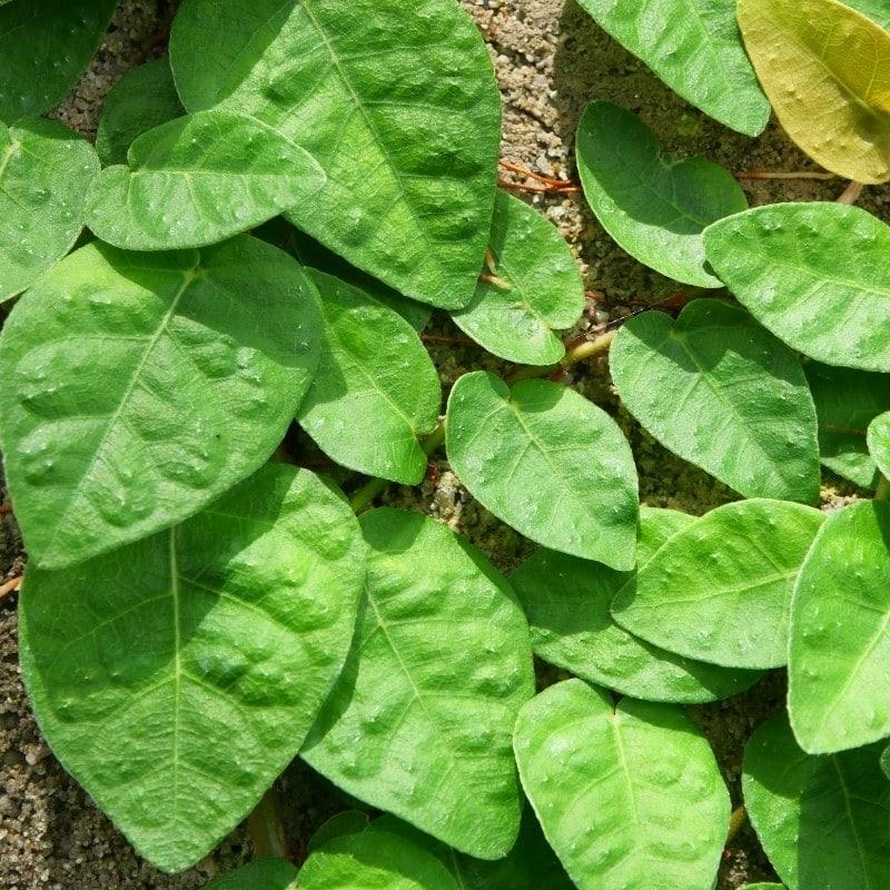 צמחים מטפס לבית - פיקוס זוחל