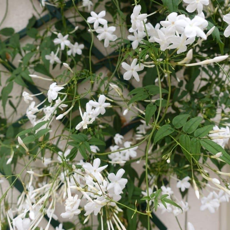 צמח מטפס לבית - יסמין